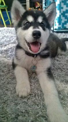 Our Alaskan malamute pup Luna!