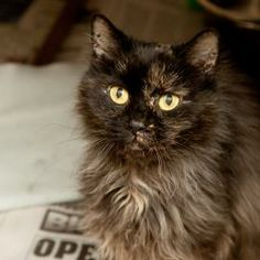 URGENT! Cat, Domestic Longhair/Mix, 5yrs, Female, Small, Black/Grey. Meet Precious. She's so gentle & beautiful & is the most precious feline you'll ever meet. She's laid back & loves affection from you. She gets along with cats. She is, simply put, the most purrfect of kitties. Stop in and adopt this sweet girl today! Wayne County Humane Society 1161 Mechanicsburg Rd., Wooster, OH 44691 (330) 262-0152 • Fax: (330) 262-4590 Tue–Thu: 10am-5pm, Fri: 10am-4pm, Sat: 9am-2pm, Sun–Mon: Closed