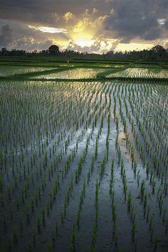 ✮ Rice fields, near Ubud Bali, Indonesia - the best honeymoon in Bali http://holipal.com/the-best-honeymoon-in-bali/ #TreasuredTravel