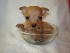 See related links to what you are looking for. Miniature Doberman Pinscher, Dog Food Recipes, 1, Chihuahuas, Cute Puppies, Cute Pets, Puppies, Animals, Miniatures