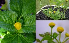 Toothache Plant Lemon Drop Spilanthes Oleracea Seeds a mix of numbing and licking a battery sensation