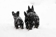 Scottie dogs in the snow