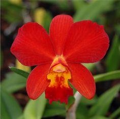 Rhyncolaeliocattleya Samantha Duncan 'Red Hot'    http://www.marblebranchfarms.com/mc052.html