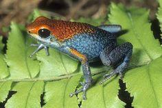 Granulated Poison Arrow Frog, D. granuliferus, Tropical Peru