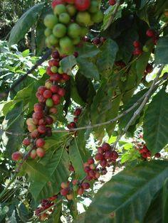 Guatemalan Coffee Beans ( arabica plant ) #Guatemala