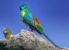 Parrocchetto groppone rosso - Red-rumped Parrot - Psephotus haematonotus