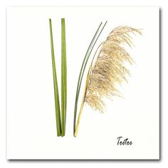 Toetoe- New Zealand Botanical Series Original Image, Fine Art Paper, New Zealand, Giclee Print, Dandelion, Hair Accessories, Framed Prints, Dandelions, Hair Accessory
