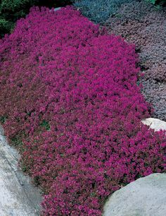 Plant Thyme Creeping Red Thymus Prae Coccineus Zone 5 7 Flowers