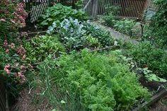 Backyard Garden with old fashioned veggies.