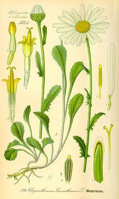 Harilik härjasilm. Leucanthemum vulgare.