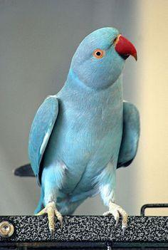 Rose-ringed Parakeet (Psittacula krameri) -blue mutation