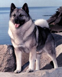 Norwegian Elkhound Dog Breed
