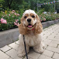Dogs are man's best friend. Therefore, the choice of your best friend should be approached consciously. We present you 14 reasons why you should choose a Cocker Spaniel: Mans Best Friend, Best Friends, Facebook Dog, Cute Cats And Dogs, All Things Cute, Cocker Spaniel, Dog Cat, Puppies, Animals