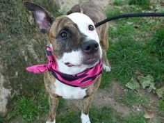 UPDATE: TO BE DESTROYED - 6/10/14**TO BE DESTROYED - 06/09/14 Manhattan Center -P  My name is ENVY. My Animal ID # is A1001881. I am a female br brindle and white pit bull mix. The shelter thinks I am about 3 YEARS old.  I came in the shelter as a OWNER SUR on 06/02/2014 from NY 10027, owner surrender reason stated was NYCHA BAN. I came in with Group/Litter #K14-179719.