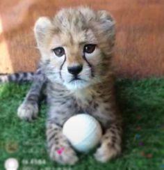 Cheetahs, Big Cats, Creatures, Cute, Animals, Nature, Youtube, Beautiful, Instagram