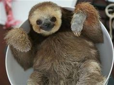 sloth in a bowl / Slothified! Activist brings home 200 rescued sloths