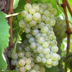 Van Zyverden Grapes Thompson Seedless Plants (3-Pack)-11426 - The Home Depot