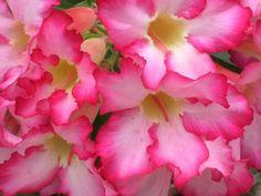 Desert Rose: Adenium [Family: Apocynaceae]