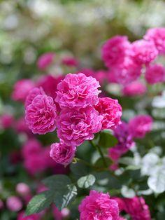 Rose, King Rose, バラ, キングローズ, | by T.Kiya