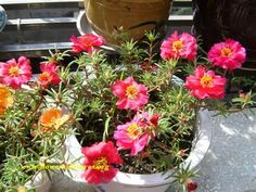 Flowering Moss Rose - Yahoo Image Search Results