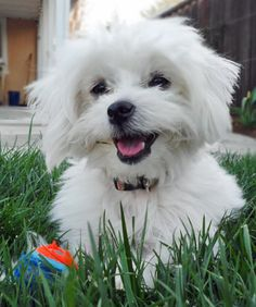 Zoe the Maltese Mix -- Dog Breed: Maltese / Poodle