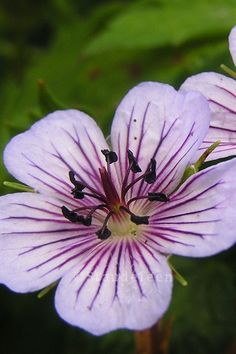 Geranium \'Crystal Lake\' ®