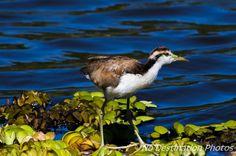 Jacana baby bird at the shore of a lake during summer (Jacanidae)