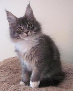 My maine coon, silver tabby male, 15 weeks Wolfie from