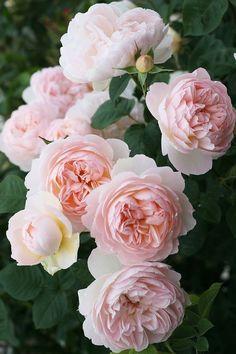 "~""Gentle Hermione"" David Austin English Rose:"