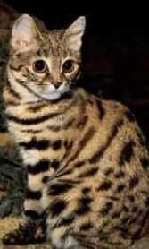 Black-footed cat - View amazing Black-footed cat photos - Felis nigripes - on Arkive Black Footed Cat, Cat Species, Leopard Cat, Small Cat, Slytherin, Cat Art, Conservation, Habitats, Wildlife