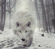 Why the Wolf- for the Women Who Run With Wolves Coaching Circle 2015 Wolf Totem and Spirit Animal. Spirit Animal Totem, Wolf Totem, Animal Totems, Beautiful Creatures, Animals Beautiful, Cute Animals, Wolf Pictures, Animal Pictures, Wolf Photos