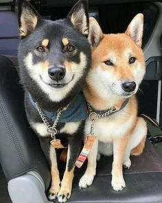 なかよしさん❤️❤️ Friends of Himeko and Azuki, both Shiba Inus. Cute Puppies, Cute Dogs, Dogs And Puppies, Corgi Puppies, Animals And Pets, Funny Animals, Cute Animals, Chien Mira, Chien Akita Inu