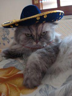 ¡Hola! gatos #cats #funny