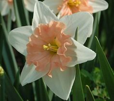 'Dear Love' is a hybrid of the Large-cupped Daffodil 'Accent' bred by Grant Mitsch, so it's no surprise that it is a strong grower that performs well in gardens and produces lots of flowers. 'Dear Love' also inherited a beautiful apricot pink from 'Accent,' but in a split corona that has touches of yellow at the base and creamy white at the edges. The color hardly fades as the blooms mature. They measure a little over 4″ wide and are upfacing as well as long lasting. Overall, it's a great…