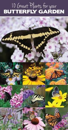 10 Great Plants for a Butterfly Garden (scheduled via http://www.tailwindapp.com?utm_source=pinterest&utm_medium=twpin&utm_content=post1060037&utm_campaign=scheduler_attribution)