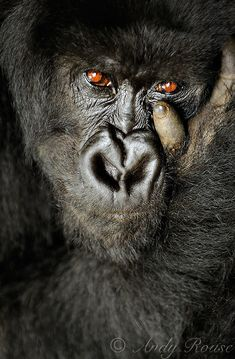 Wild eyes, female Mountain Gorilla, Rwanda - Africa / by Andy Rouse - the feeling in the eyes is incredible, the detail is amazing, just a fantastic shot. Beautiful Creatures, Animals Beautiful, Animals And Pets, Cute Animals, Wild Animals, Los Primates, Regard Animal, Photo Animaliere, Wild Eyes
