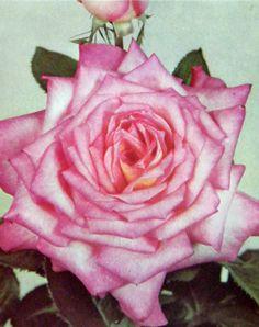 Tea Rose - official flower of Alpha Kappa Alpha Sorority, Inc.