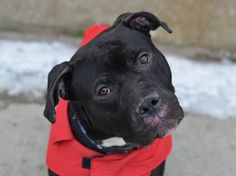~~~TO BE DESTROYED~~~ Brooklyn Center, NYC ACC. My name is SPARTA. My Animal ID # is A1026574. I am a male black and white staffordshire mix. The shelter thinks I am about 3 YEARS old. I came in the shelter as a STRAY. I weigh 60 lbs. Very sweet. For more information on adopting from the NYC ACC, or to find a rescue to assist, please read the following: http://urgentpetsondeathrow.org/must-read/