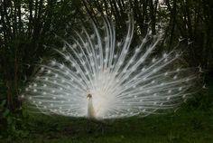 Afbeeldingsresultaat voor witte pauw