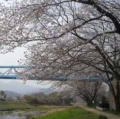 川桜、桜風:魚の庭 <2013-03-29>