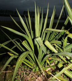 Plantehjelp: Yucca