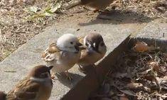 7、8月にかけて「やまなし野鳥の会」に、頭などが白いスズメの目撃情報が相次いだ。   甲府、南アルプス、北杜の山梨県内各市から寄せられ、それぞれ地元住民の関心を集めている。   甲府市飯田では、建設・不動産会社の駐車場で見つかった。社長の高城正男さん(63)によると、初めて見かけたのは昨年10月頃で、米やせんべいを時々あげてきた。今では近くで働く人たちも「シロちゃん」と呼ぶ人気者。高城さんは「珍しくてかわいい」と目を細める。