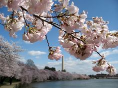 I want to see the Washington DC cherry trees in bloom!