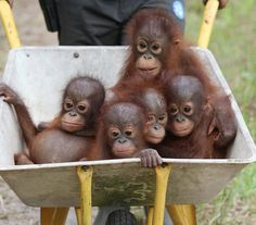 Wheelbarrow full of monkeys! Except they are baby orangutans! It's a cart full of cute!