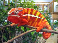 The panther chameleon (Furcifer pardalis) is a species of chameleon found in the eastern and northern parts of Madagascar in a tropical forest biome. Description from imgarcade.com. I searched for this on bing.com/images