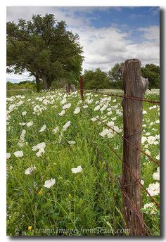 From earlier this spring in the Texas Hill Country (back when it was cooler) here is an image of some white prickly poppies.   Thanks for looking.  www.facebook.com/RobGreebonPhotography
