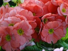 unjardinsostenible.com: Prímula obcónica (Prímula Primaveras) Ideas Para, Floral, Plants, Whitefly, Annual Plants, Compost, Flowering Plants, Heart Shapes, Hydrangeas