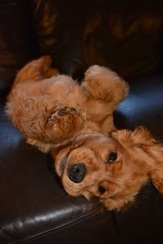 Perro Cocker Spaniel, Golden Cocker Spaniel, Cute Dogs Breeds, Dog Breeds, Cute Puppies, Dogs And Puppies, Doggies, Spaniel Breeds, Cut Animals
