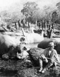 Morning's Catch Hippopotamus Mlembo River Rhodesia, 1910