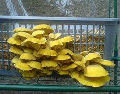 Grow DIY GOLDEN OYSTER Mushroom Easily At Home All Year Round! Pleurotus citrinopileatus Mushroom Spawn Only for $9,99 Now!